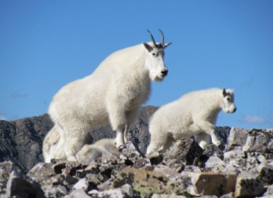 mountain-goats